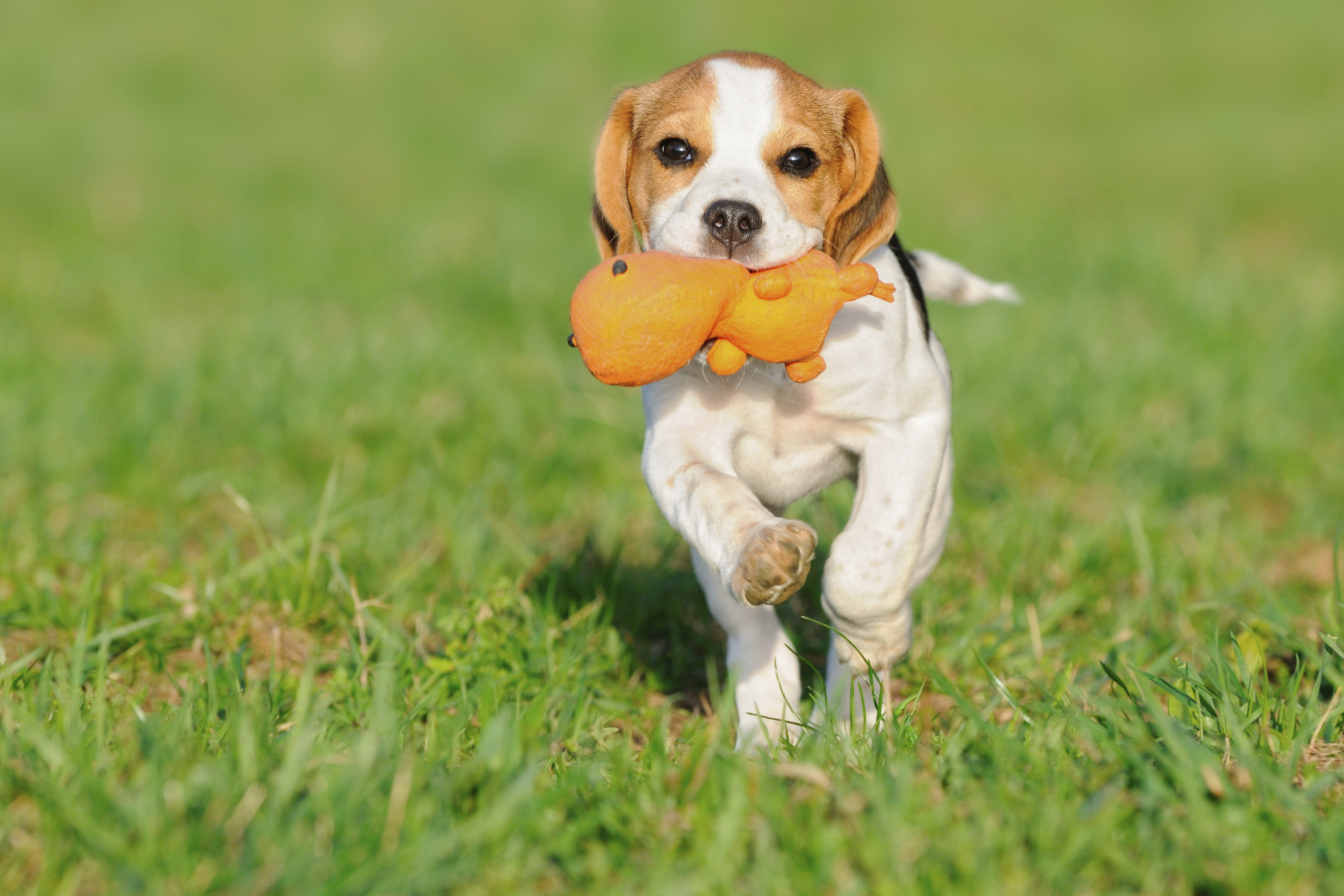 puppy running in a flea free yard with his toy