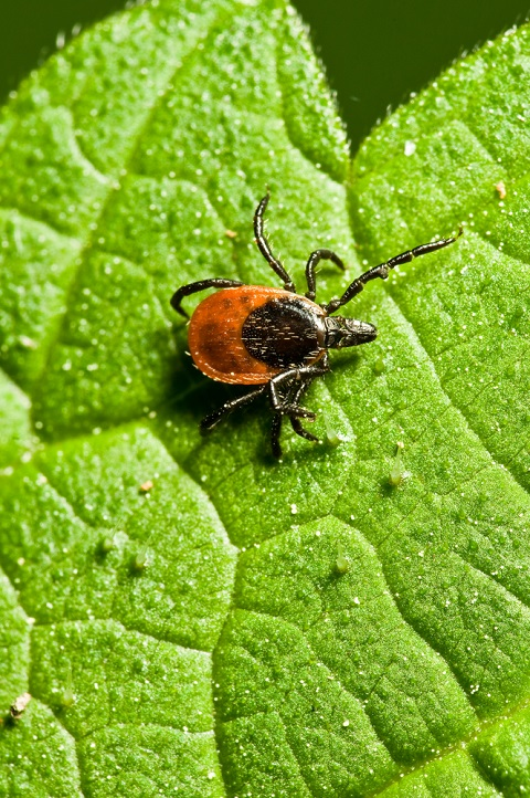 The Deer tick is responsible for the spread of Lyme Disease.