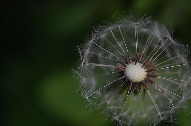irrelevant dandelion for your enjoyment!