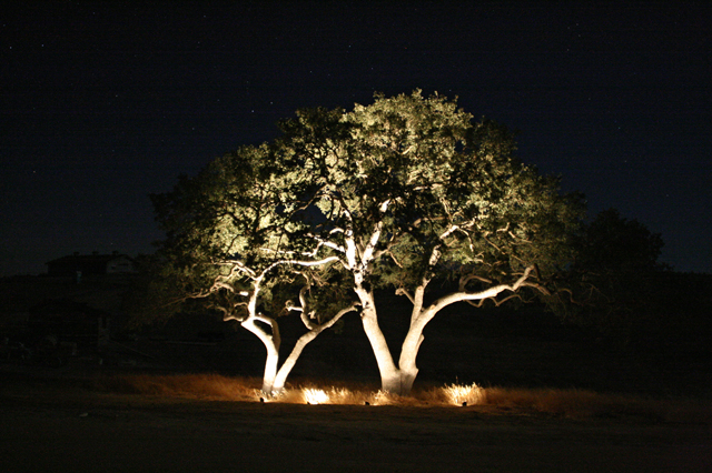 Tree highlighted by outdoor lighting uplighting