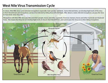 Infographic of West Nile Virus Transmission Cycle